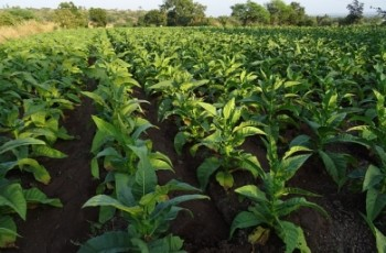 Apel do producentów tytoniu!
